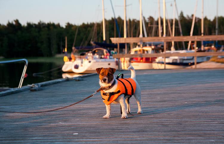 Laivakoira Emma pelastusliiveissään.