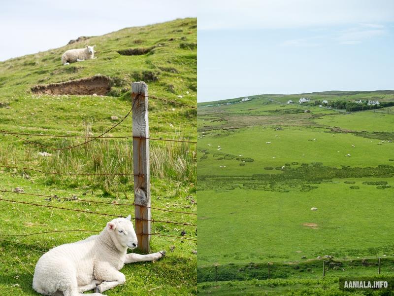 Lampaita Skotlannissa